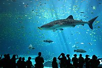 Photo of whale shark with silhouettes of human observers at bottom of picture