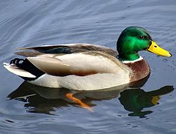 This looks like a duck, swims like a duck, and quacks like a duck. It is therefore probably a duck.