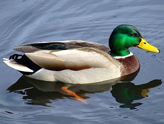 Duck test - A mallard, shown looking like a duck and swimming like a duck.