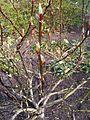 Malpighiales - Salix fargesii - kew 2.jpg