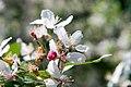 Malus floribunda 6zz.jpg