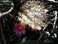 Mammillaria haageana (5736661230).jpg