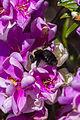 Manaca da Serra com abelha.jpg