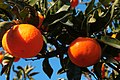 Mandarines (59891772).jpeg
