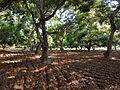 Mango farm.jpg