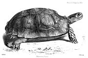 Asian forest tortoise (Manouria emys)