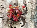 Maple Flower (33134355645).jpg