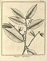 Maquira guianensis Aublet 1775 pl 389.jpg