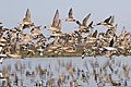 Marbled Godwits and Willets.jpg