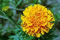 Marigold 20020400 4.jpg