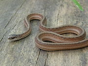 Marsh Brown Snake.jpg