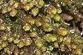 Marsupella emarginata (b, 141236-472435) 5651.JPG