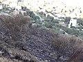 Matollar cremat a Collserola - 20210502 190049.jpg