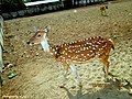 Mayabi deer.jpg