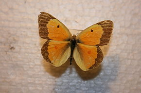 Description de l'image McGeorge Colias eurytheme.JPG.