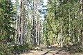Meža ceļš, Ogresgala pagasts, Ogres novads, Latvia - panoramio.jpg