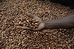 Medium close up image of David Kebu Jnr holding cocoa beans drying in the sun. (10703178735).jpg