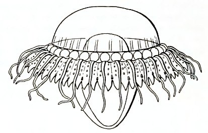 Medusae of world-vol03 fig360 Atolla chuni