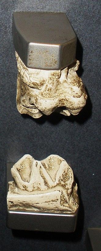 Megahippus - Teeth