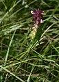 Melampyrum cristatum 2.jpg