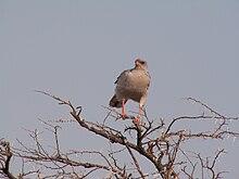 Akkedisvalk in etosha nasionale park , namibië