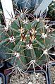 Melocactus bahiensis 2e.jpg