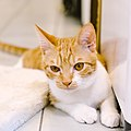 Melon, the orange cat, Taipei; July 2016 (07).jpg