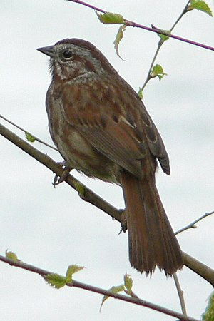 "Song sparrow - Taken at Springfield, Oregon in early April, this photo probably shows M. m. cleonensis or a ""phaea"" hybrid"