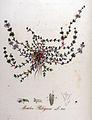 Mentha pulegium — Flora Batava — Volume v9.jpg