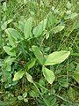 Menyanthes trifoliata sl1.jpg