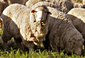 Merino sheep.png
