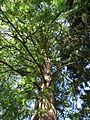 Metasequoia glyptostroboides 5.jpg