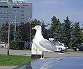 Mewa Gdynia IMGP3166c.JPG