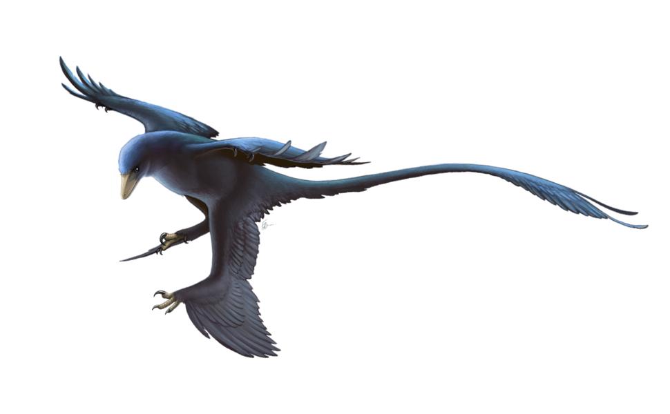 Microraptor Restoration