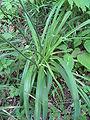 Middendorfii var. esculenta f. musashiensis-04.jpg