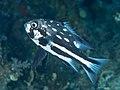Midnight snapper (Macolor macularis) (32987885648).jpg