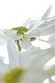 Milk Petals.jpg