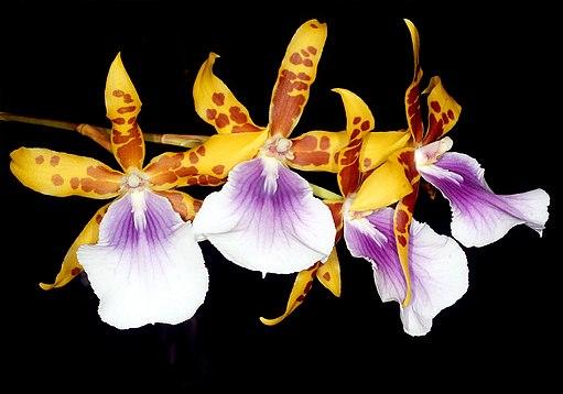 Miltonia × Castanea cultivar Orchi 003