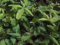 Mimosa pudica a1.jpg