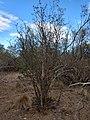 Mimozyganthus carinatus.jpg