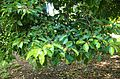 Mimusops elengi foliage.jpg