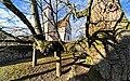 Mindestens 700 Jahre alt, die Dorflinde in Hollenbach. 3.jpg