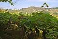Minho Vinho Verde Vineyards.jpg