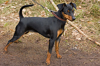 Miniature Pinscher - Miniature Pinscher