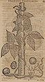 Monardes - 1574 - De simplicibus medicamentis - UB Radboud Uni Nijmegen - 208278206 65 phaseolus brasilianus.jpg