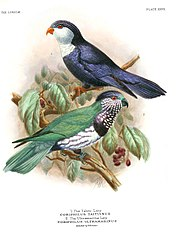 Drawing of a green parrot with a brown face and chest with white spots, a black chest ring below, and white belly. A Blue lorikeet is also pictured above.