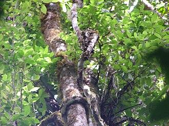 Andasibe-Mantadia National Park - Image: Montadiamidstoryrain forest