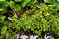 Montia chamissoi - Flickr - aspidoscelis.jpg
