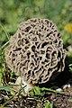 Morchella esculenta (26359179890).jpg