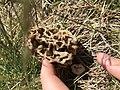 Morchella esculenta 75259716.jpg